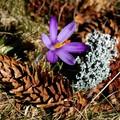Obejrzyj galerię: Krokusy - najpiękniejsze zwiastuny wiosny...