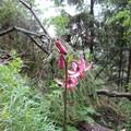 Obejrzyj galerię: Tatrzańskie kwiaty – Lilia złotogłów - czyli leluja