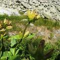 Obejrzyj galerię: Kwiaty Tatr – Goryczka kropkowana