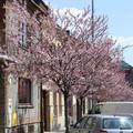 Obejrzyj galerię: Kwitną śliwy na ul. Kolejowej