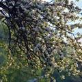 Obejrzyj galerię: Kwitną sady