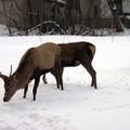 Obejrzyj galerię: Stadko jeleni odwiedza zakopiańskie osiedla