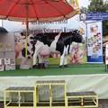 Obejrzyj galerię: Mistrz w dojeniu sztucznej krowy!