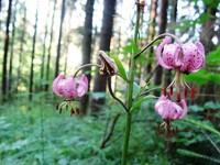Tatrzańskie kwiaty – Lilia złotogłów - czyli leluja