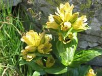 Kwiaty Tatr – Goryczka kropkowana