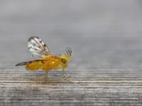 Stemonocera cornuta