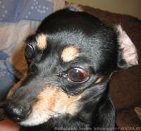 Szczepienia psów przeciw wściekliźnie